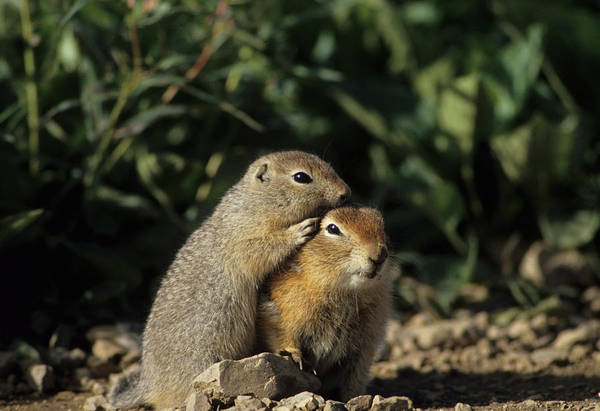 Denali Photograph - Arctic Ground Squirrel, Denali National by Gerry Reynolds