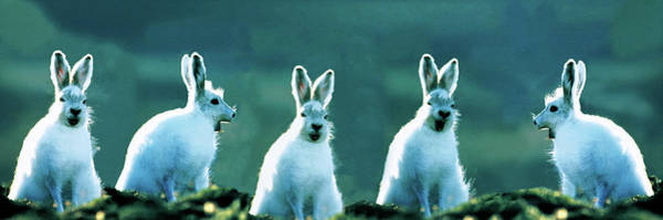 Wall Art - Photograph - Arctic Hares Concept Ellesmere Isl by Animal Images