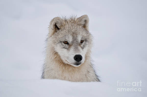 Photograph - Arctic Pup In Snow by Wolves Only