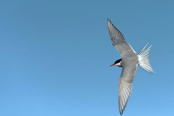 Tern Wall Art - Photograph - Arctic Tern by Dr P. Marazzi