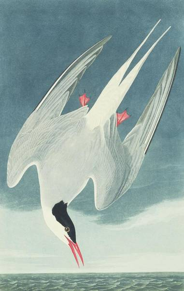 Aquatint Photograph - Arctic Tern  by Natural History Museum, London/science Photo Library