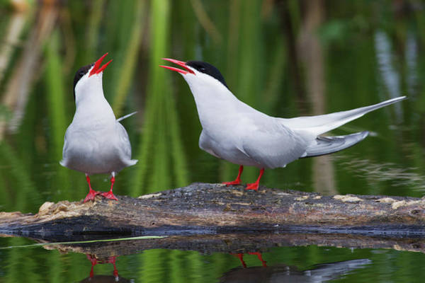 Courtship Photograph - Arctic Tern Pair by Ken Archer