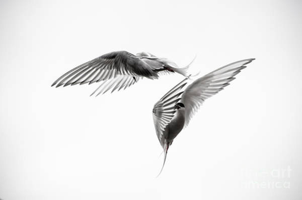 Down Feather Photograph - Arctic Tern - Sterna Paradisaea - Pas De Deux - Black And White by Ian Monk