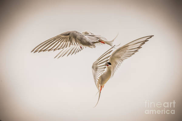 Down Feather Photograph - Arctic Tern - Sterna Paradisaea - Pas De Deux -hdr by Ian Monk