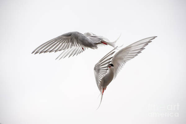 Down Feather Photograph - Arctic Tern - Sterna Paradisaea - Pas De Deux  by Ian Monk