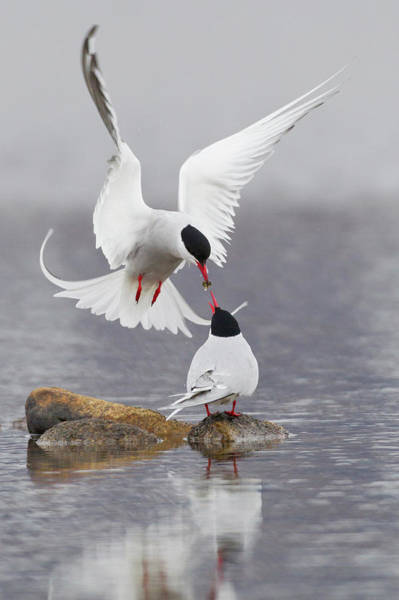 Courtship Photograph - Arctic Terns, Courtship by Ken Archer