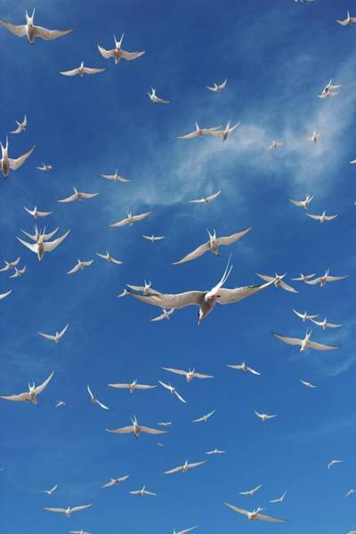Canadian Fauna Photograph - Arctic Terns by David Woodfall Images/science Photo Library