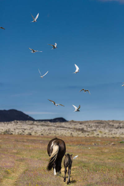 Mare And Foal Photograph - Arctic Terns With Mare And Foal by Panoramic Images