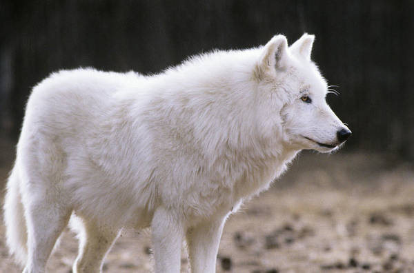 Arctic Wolves Photograph - Arctic Wolf by Animal Images