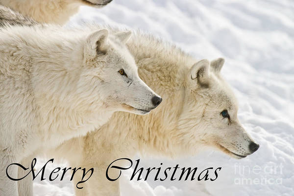 Photograph - Arctic Wolf Christmas Card 13 by Wolves Only