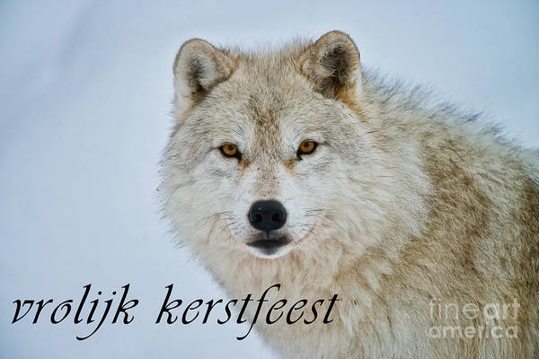 Photograph - Arctic Wolf Christmas Card Dutch 15 by Wolves Only