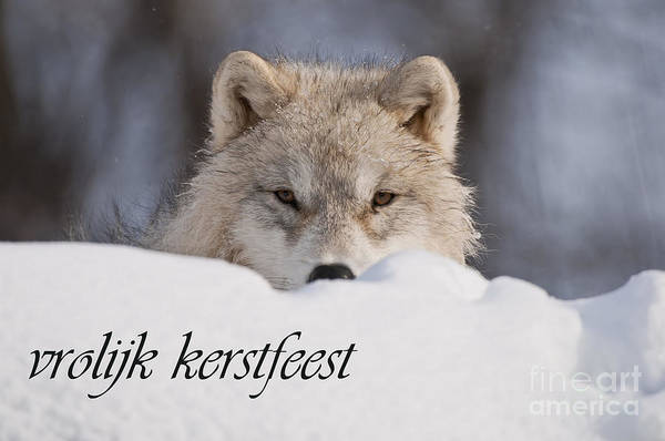 Photograph - Arctic Wolf Christmas Card Dutch 7 by Wolves Only