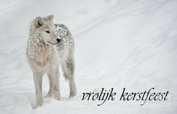 Photograph - Arctic Wolf Christmas Card Dutch 8 by Wolves Only