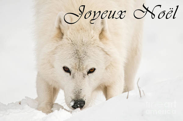 Photograph - Arctic Wolf Christmas Card French 10 by Wolves Only