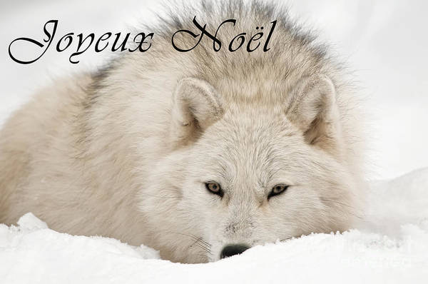 Photograph - Arctic Wolf Christmas Card French 11 by Wolves Only