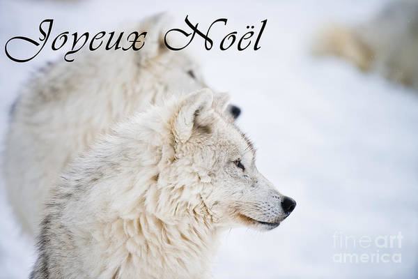 Photograph - Arctic Wolf Christmas Card French 12 by Wolves Only