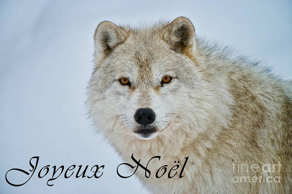 Photograph - Arctic Wolf Christmas Card French 15 by Wolves Only