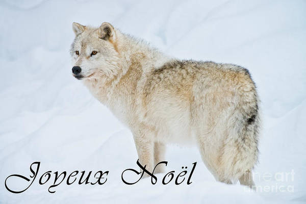 Photograph - Arctic Wolf Christmas Card French 9 by Wolves Only