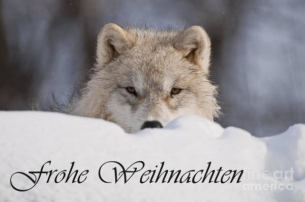 Photograph - Arctic Wolf Christmas Card German 7 by Wolves Only
