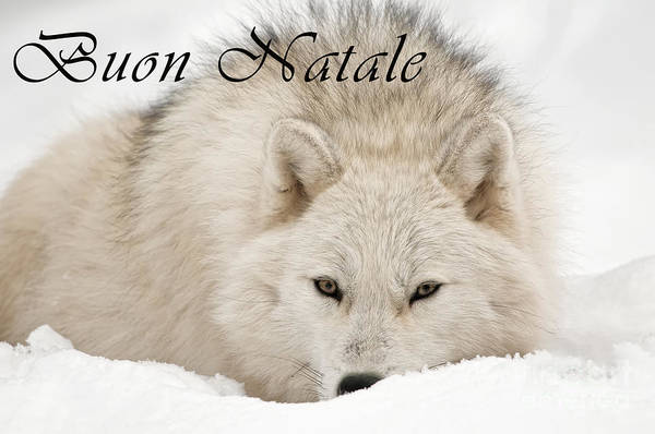 Photograph - Arctic Wolf Christmas Card Italian 11 by Wolves Only