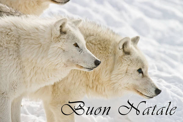 Photograph - Arctic Wolf Christmas Card Italian 13 by Wolves Only