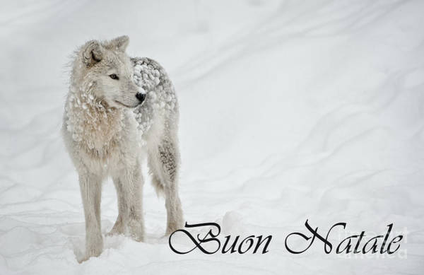 Photograph - Arctic Wolf Christmas Card Italian 8 by Wolves Only