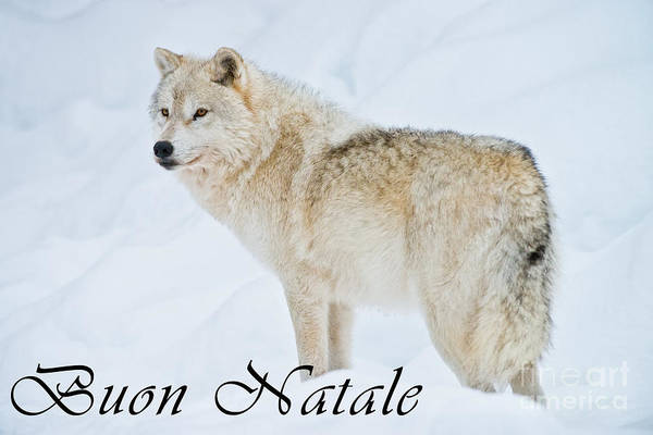Photograph - Arctic Wolf Christmas Card Italian 9 by Wolves Only