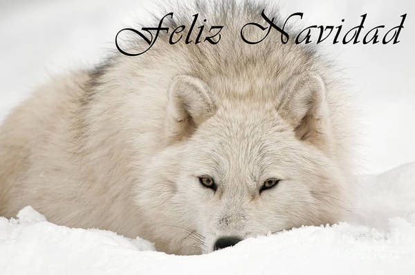 Photograph - Arctic Wolf Christmas Card Spanish 11 by Wolves Only
