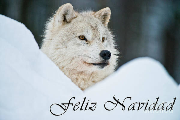 Photograph - Arctic Wolf Christmas Card Spanish 14 by Wolves Only