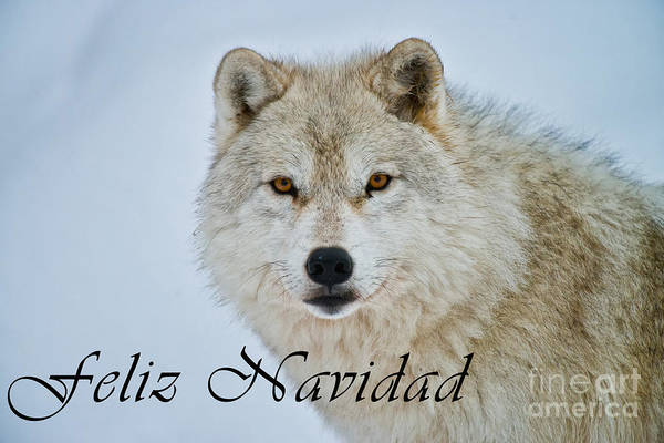 Photograph - Arctic Wolf Christmas Card Spanish 15 by Wolves Only