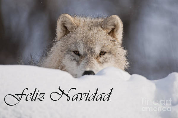 Photograph - Arctic Wolf Christmas Card Spanish 7 by Wolves Only
