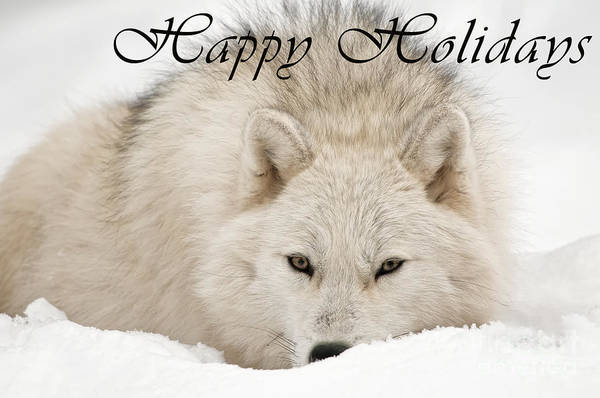Photograph - Arctic Wolf Happy Holidays Card 11 by Wolves Only