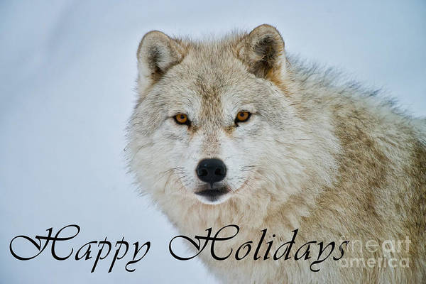 Photograph - Arctic Wolf Happy Holidays Card 15 by Wolves Only