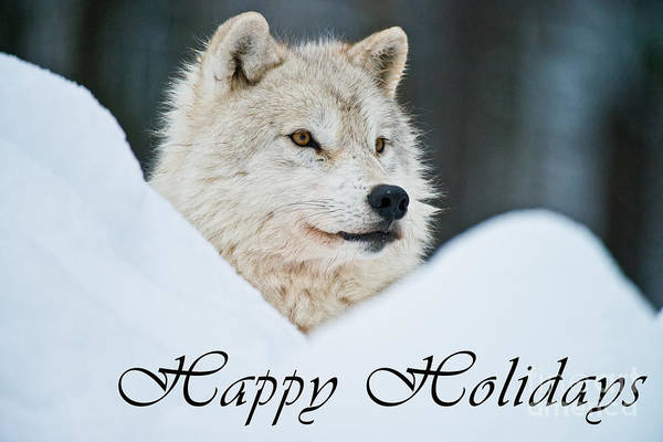 Photograph - Arctic Wolf Happy Holidays Card French 14 by Wolves Only
