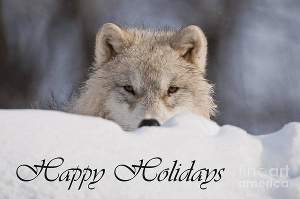 Photograph - Arctic Wolf Holiday Card 7 by Wolves Only