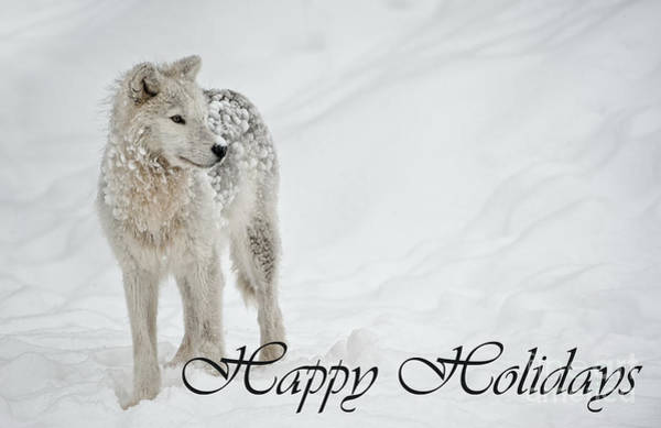 Photograph - Arctic Wolf Holiday Card 8 by Wolves Only
