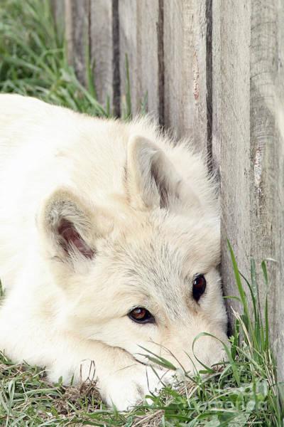 Arctic Wolf Art Print by Kathy Eastmond