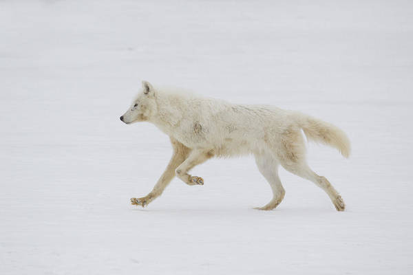 Wall Art - Photograph - Arctic Wolf by Paul Sawer/FLPA
