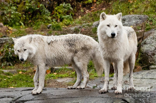 Photograph - Arctic Wolf Pictures 137 by Wolves Only