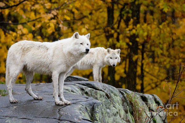 Photograph - Arctic Wolf Pictures 143 by Wolves Only