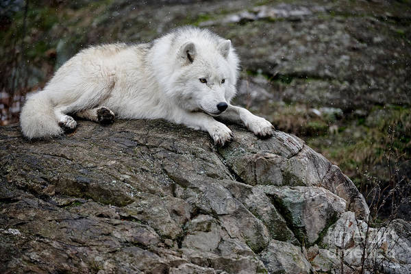 Photograph - Arctic Wolf Pictures 153 by Wolves Only