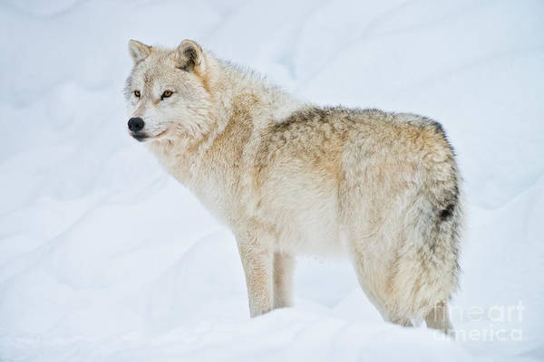 Photograph - Arctic Wolf Pictures 154 by Wolves Only