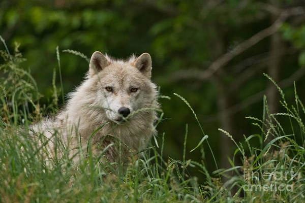Photograph - Arctic Wolf Pictures 157 by Wolves Only