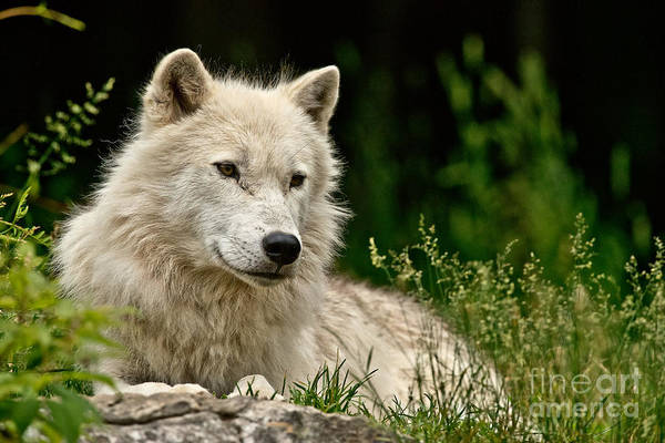 Photograph - Arctic Wolf Pictures 159 by Wolves Only