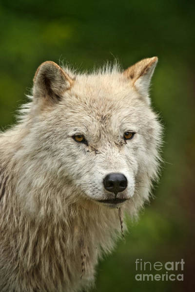 Photograph - Arctic Wolf Pictures 243 by Wolves Only