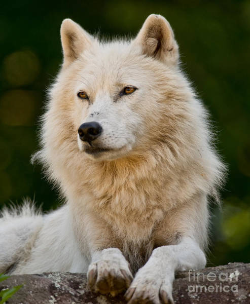 Photograph - Arctic Wolf Pictures 244 by Wolves Only