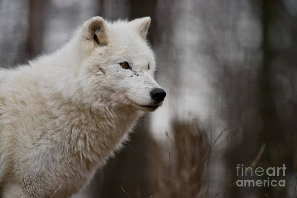 Photograph - Arctic Wolf Pictures 245 by Wolves Only