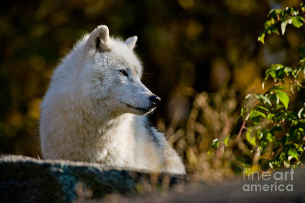 Photograph - Arctic Wolf Pictures 246 by Wolves Only