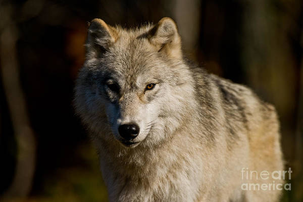 Photograph - Arctic Wolf Pictures 247 by Wolves Only