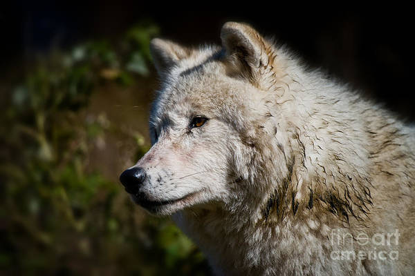 Photograph - Arctic Wolf Pictures 249 by Wolves Only